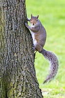 Squirrel on a tree in a London Park, UK