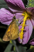 Broad-winged Skipper Butterfly (Poanes viator) Feeding on Marsh Mallow, Swamp Rose (Hibiscus moscheutos) Flower. Corolla, Currituck County, Outer Bank...