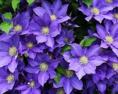 Cluster of beautiful, fully blooming, purple Clematis growing in Trevor, Wisconsin, USA.