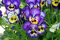 Close up of a cluster of purple and yellow pansies blooming in Trevor, Wisconsin.