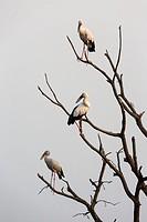 Asian openbill (Anastomus oscitans), three adults standing on tree, Tadoba National Park, Maharashtra, India.