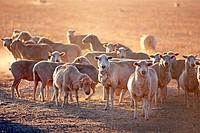 Sheep on a farm in Western Victoria, Australia.