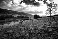 Rural landscape with hills, clouds, a tree, a barn and grazing sheep. Starbotton, Skipton, North Yorkshire, England