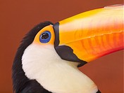 Toucan, Ramphastos toco. London Zoo. UK.