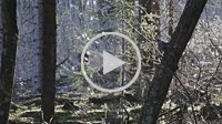 Gnats are dancing in the sun in this spruce forest in northern Sweden. It's April and their mating season has just begun. Noraström, Västernorrlands L...