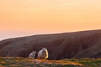 Sheep (Ovis aries) and her lamb on a hillside at Cape St. Mary´s Ecological Reserve, Newfoundland, Canada.