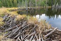 dam of a North American beaver (Castor canadensis), Jacques-Cartier National Park, province Quebec, Canada.