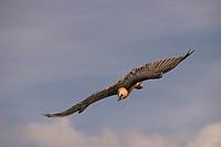 Vulture (Gypaetus barbatus bearded vulture literally) .Fotografiado in the Pyrenees Leridano in Buseo.