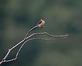 Red-rumped Swallow (Hirundo daurica), Greece