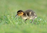 Mallard Duckling, Anas platyrhynchos.