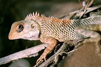 Common Garden Lizard or Bloodsucker, Calotes versicolor, Sinhagad Valley, Western Ghats, Maharashtra, India.