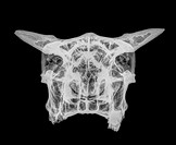 Front view X-ray of a skull of a cow on black background.