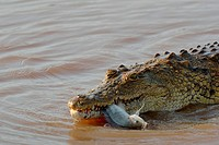 Nile crocodile (Crocodylus niloticus), a fish still alive in its mouth, Sunset Dam, Kruger National Park, Mpumalanga, South Africa, Africa.