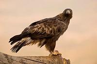 golden eagle or eagle flow (Aquila chrysaetos). Photographed in the Valley Iruelas Avila.