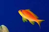 Female sea goldie, lyretail coralfish, lyretail anthias or scalefin anthias (Pseudanthias squamipinnis) on the background of blue water, Red sea, Shar...