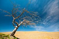 Dead tree in Crown Range Summit, New Zealand.