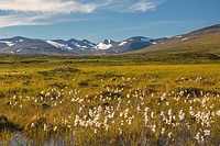 Summer in mountain area in Swedish Lapland, snow on the mountains, cotton grass in foreground, Kiruna, Swedish Lapland, Sweden.