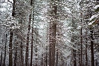 Snow covers Evergreen tree branches in Eastern Washington.