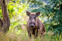 France, Haute Saone, Private park, Wild Boar (Sus scrofa), male.