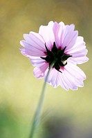 end of flowering season - cosmos sonata delicate pink flower early autumn sunlight.