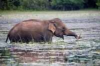 Sri Lanka, Northwest Coast of Sri Lanka, Sri lankan elephant (Elephas maximus maximus), eating aquatic vegetation in the marsh.