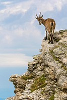 Alpine Ibex (Capra ibex), female standing on rock face, Niederhorn, Bernese Oberland, Switzerland.