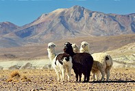 Small herd of alpacas in Lauca National Park. Norte Grande region. Chile