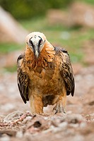 Europe, Spain, Catalonia, Lerida province, Boumort, Bearded vulture at the feeding station in the game reserve, adult on the ground.