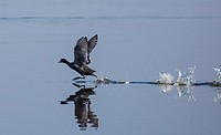American Coot running across water prior to flying on. Lake Okeechobee in Central Florida.