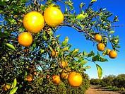 florida usa oranges.