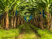 Banana plants may grow with varying degrees of success in diverse climatic conditions, but commercial banana plantations are primarily found in equato...