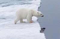 Female Polar bear (Ursus maritimus) walking on pack ice, Svalbard Archipelago, Barents Sea, Norway, Arctic, Europe.