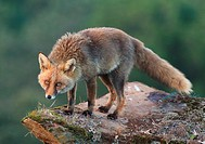 Red fox (Vulpes vulpes). Parque Nacional de Monfragüe, Caceres, Extremadura, Spain.