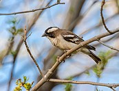 White-browed sparrow weaver (Plocepasser mahali). Windhoek. Namibia