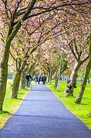 People walking in The Meadows under Japanese cherry trees blossom, Edinburgh, Scotland, United Kingdom.