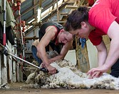 Sheep shearing on Saunders Island. South America, Falkland Islands, January.