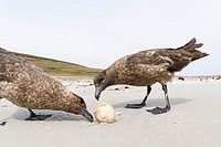 Falkland Skua or Brown Skua (Stercorarius antarcticus, exact taxonomy is under dispute), feeding on an egg of a Gentoo Penguin. They are the great sku...