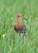black-tailed godwit (Limosa limosa) in a meadow, Lake Duemmer, Germany