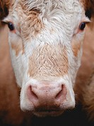 Swedish cow, close up