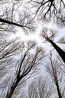 Poplar Populus X euramericana Plantation in winter against the sky.