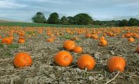 Pumpkins ready for Harvest Norfolk October.