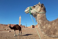Camel Morocco North Africa March.