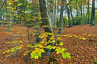 Epping Forest Essex Beeches Fagus sylvatica in Autumn.