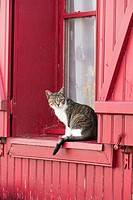 Tabby cat watching from magenta wooden clad window sill with traditional shutters, Amiens, France.