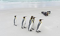 Photographer on beach with King Penguin (Aptenodytes patagonicus) on the Falkland Islands in the South Atlantic. South America, Falkland Islands, Janu...