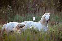 Camarque Horse with Cattle egret ( Bubulcus ibis) on it's back in morning light, Camarque, France.