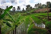 Rice paddy, Bali, Indonesia, Southeast Asia.