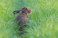 European brown hare (Lepus europaeus) in Springtime, Hesse, Germany, Europe.