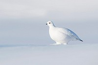 Willow Ptarmigan (Lagopus lagopus), walking on tundra with fresh snow, Churchill, Manitoba, Canada.