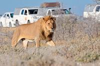 African lion (Panthera leo), adult male walking, tourist vehicles behind, Etosha National Park, Namibia, Africa.